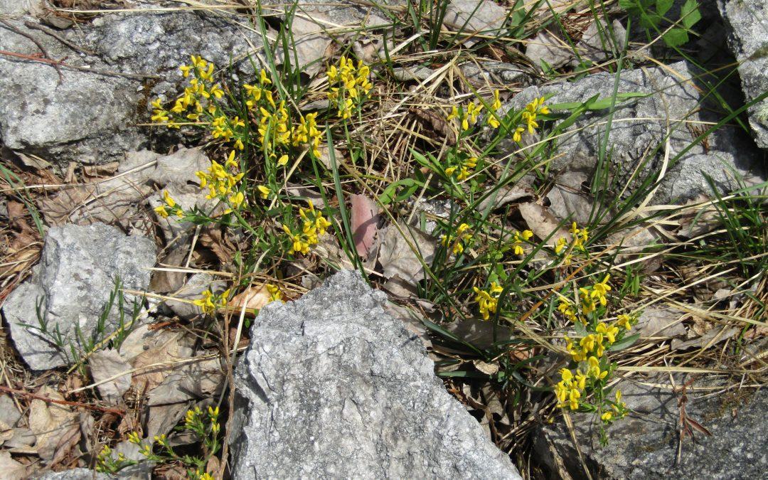 Žički grobeljnik cveti že 20 let